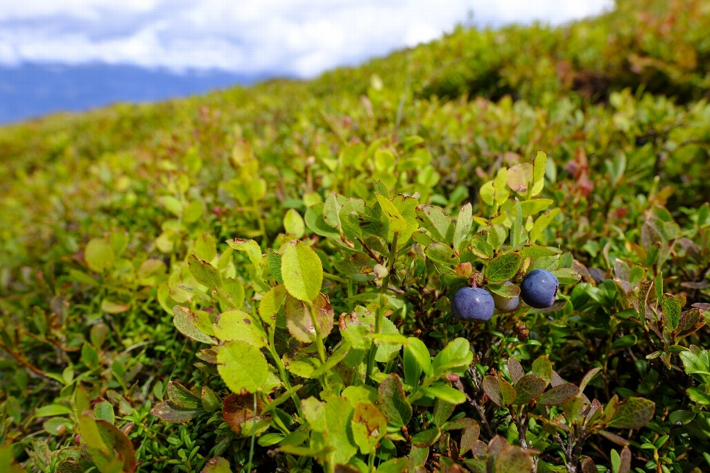 Prime blueberry picking at the top of the mountain!