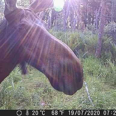 Moose in Great Mountain Forest